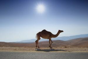 camelo_