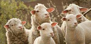 cordeiro-ovelhas